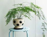 文竹用什么肥比较好,文竹多久施肥一次