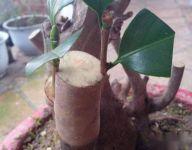 桂花树能和什么树嫁接